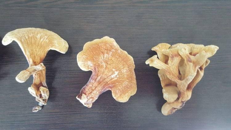بذر قارچ گانودرما