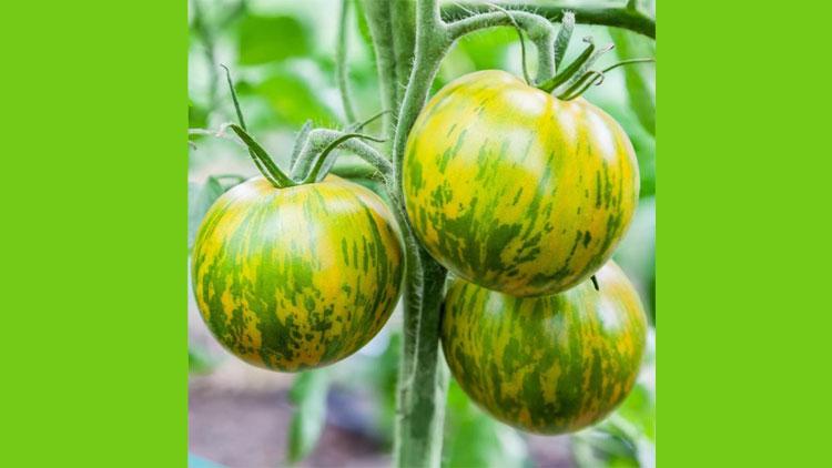 بذر گوجه فرنگی سبز راه راه , بذر صیفی جات