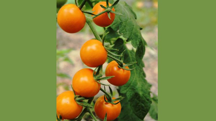 بذر گوجه گیلاسی طلایی