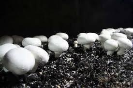 بذر قارچ دکمه ای
