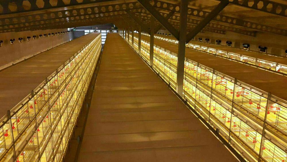 قفس تمام اتوماتیک دو منظوره پرورش مرغ گوشتی و پولت
